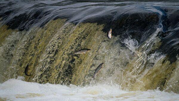Летающая вимба на Венте пытается взобраться на знаменитый водопад Вентас-Румба. - Sputnik Латвия