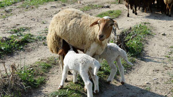 Овца с ягнятами - Sputnik Латвия