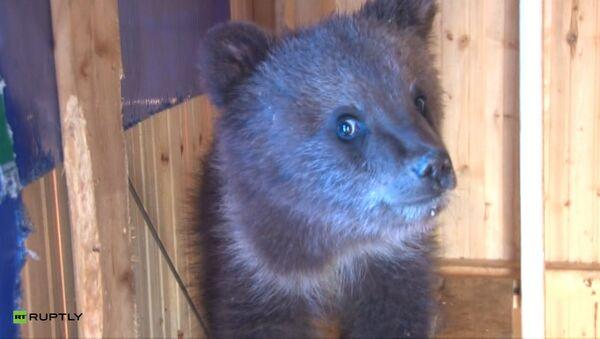 Каша для косолапого: житель Ухты спас и приютил трехмесячного медвежонка - Sputnik Латвия