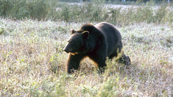 Бурый медведь - Sputnik Latvija