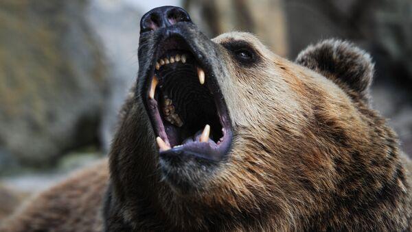 Оскал бурого медведя - Sputnik Latvija