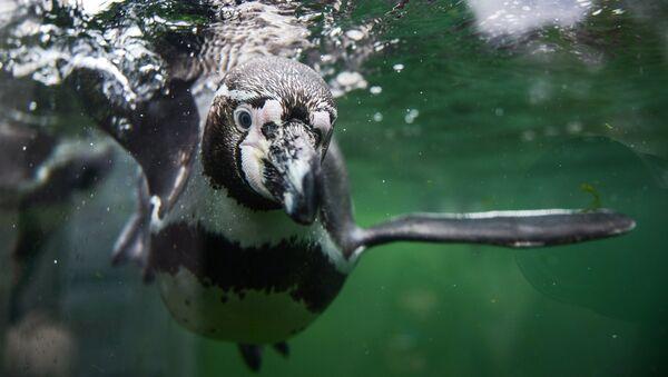 Пингвин Гумбольта - Sputnik Латвия