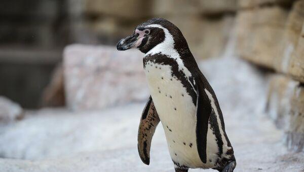 Pingvīns. Foto no arhīva - Sputnik Latvija