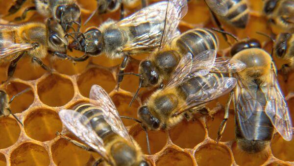 Пчелы на пасеке - Sputnik Латвия