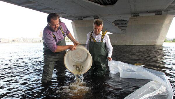 Руководство Департамента жилья и среды Рижской думы запустило в Даугаву 3 тысячи мальков озерного сига - Sputnik Латвия