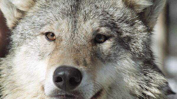 Волк - Sputnik Латвия