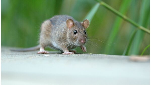 Мышь - Sputnik Латвия