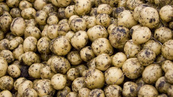 Kartupeļi. Foto no arhīva - Sputnik Latvija