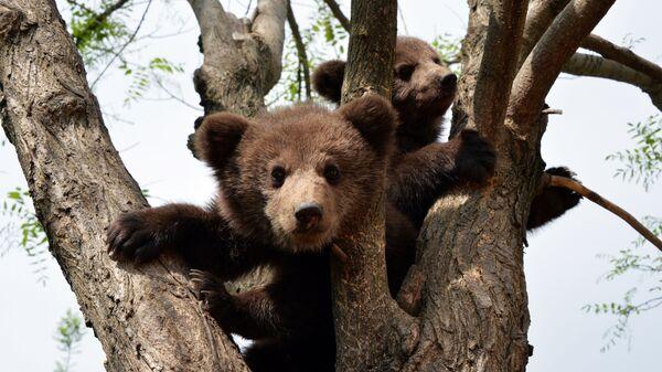 Бурые медвежата - Sputnik Latvija