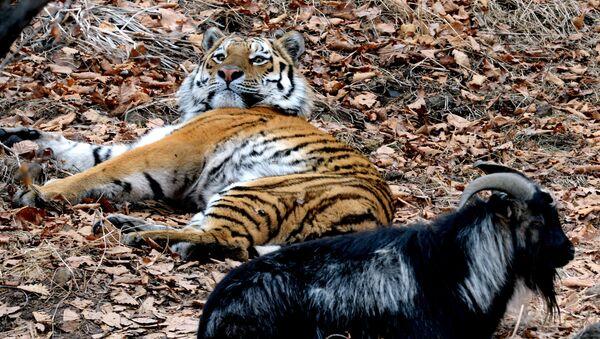 Дружба козла Тимура и тигра Амура в Приморском сафари-парке - Sputnik Латвия