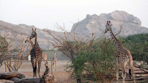 Жирафы в зоопарке Эль-Айна (ОАЭ) - Sputnik Латвия