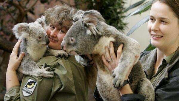 Edinburgas zooparks ir vienīgā organizācija Apvienotajā Karalistē un viena no nedaudzajām Eiropā, kas var palepoties ar koalām savā kolekcijā. Diviem tēviņiem un mātītei pat iestādīts liels eikaliptu dārzs. - Sputnik Latvija