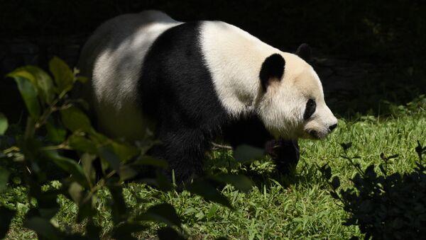 Panda Vašingtonas zooloģiskajā dārzā. Foto no arhīva - Sputnik Latvija