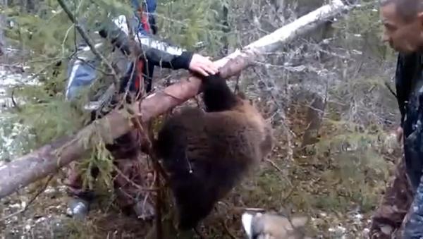Mednieki izglābuši lācēnu no malumednieku lamatām - Sputnik Latvija