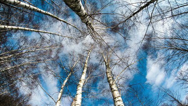 Березы зимой - Sputnik Latvija