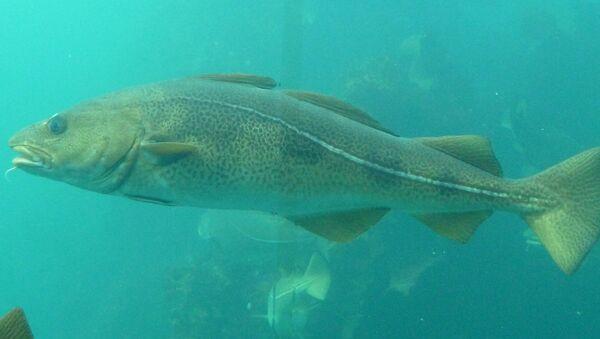Рыба треска - Sputnik Латвия
