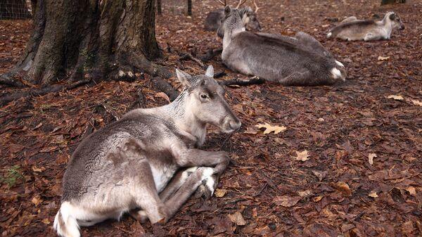 Северный олень в рижском зоопарке - Sputnik Латвия