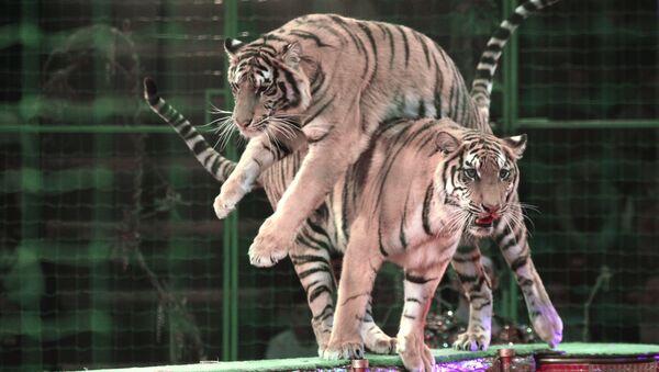 Тигры во время представления в цирке  - Sputnik Латвия