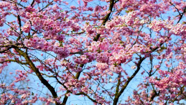 Japānas ķiršu koks sakura - Sputnik Latvija