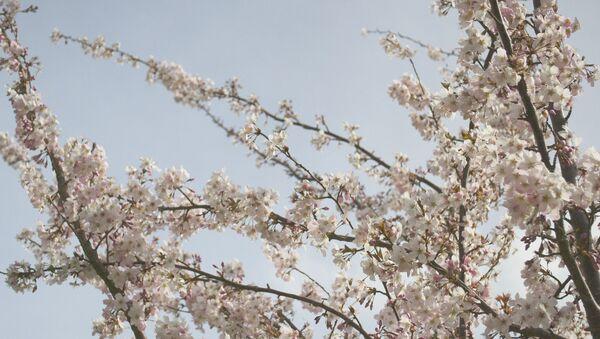 Японская вишня в цвету - Sputnik Латвия
