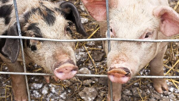 Свиньи в клетке - Sputnik Латвия