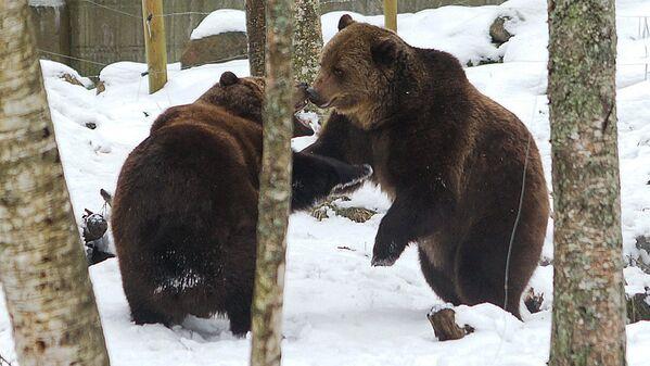 Divi brāļi – aplokā rotaļājas divi brūnie lāči - Sputnik Latvija