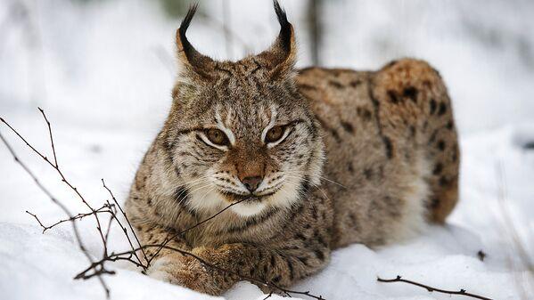 Lūse Eleonora organizējusi matriarhātu 5 dzīvnieku saimē - Sputnik Latvija