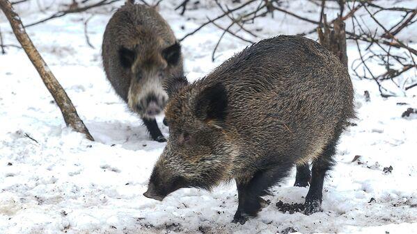 Mežacūkas Līgatnes dabas parkā - Sputnik Latvija