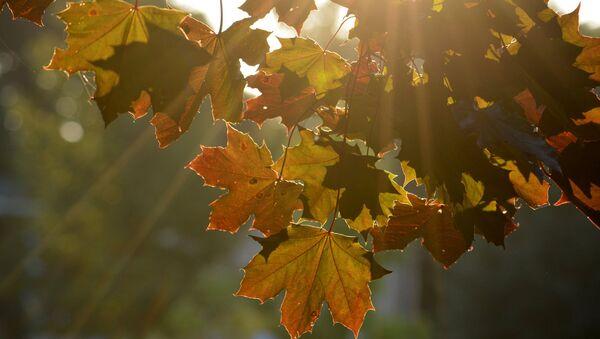 Листья клена - Sputnik Латвия