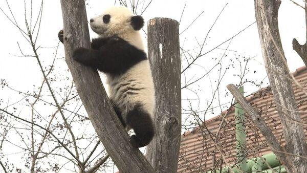 Панды в венском зоопарке - Sputnik Латвия