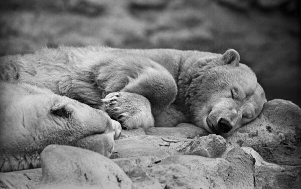 Белые медведи в Московском зоопарке, 1961 год - Sputnik Латвия
