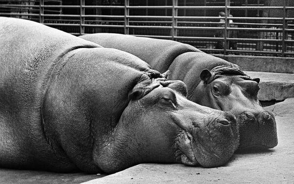 Семья бегемотов, обитающая в московском зоопарке, 1967 год - Sputnik Латвия