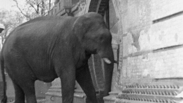 Уцелевший слон в Берлинском зоопарке, 1945 год - Sputnik Латвия