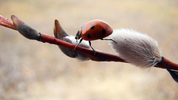Божья коровка на веточке вербы - Sputnik Латвия