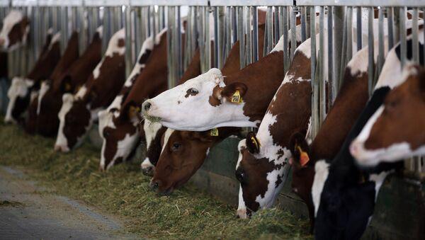 Коровы на молочно-товарной ферме - Sputnik Латвия