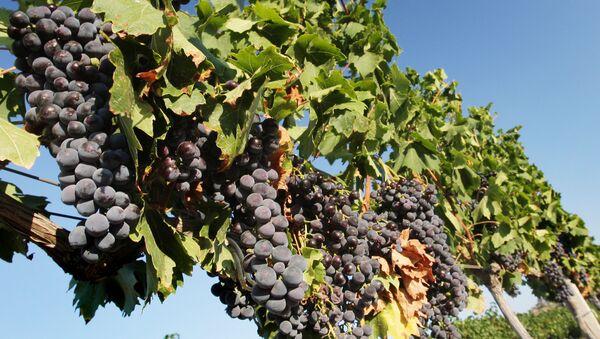 Сбор винограда - Sputnik Latvija