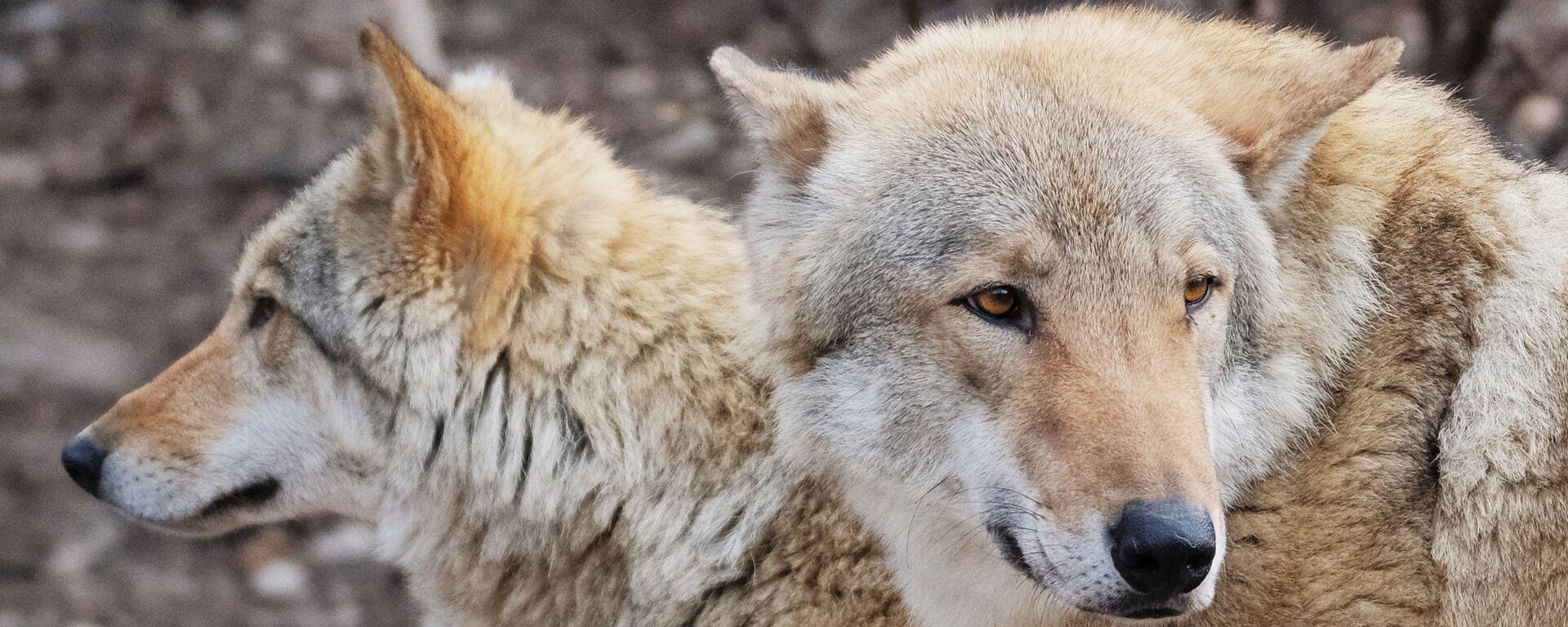 Европейские волки (canis lupus) в Московском зоопарке - Sputnik Латвия, 1920, 07.02.2021