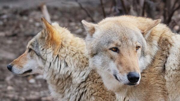 Европейские волки (canis lupus) в Московском зоопарке - Sputnik Latvija