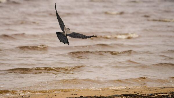 Чаек на пляже сменили вороны - Sputnik Латвия
