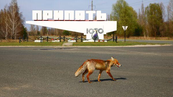 Лиса из Припяти - Sputnik Latvija