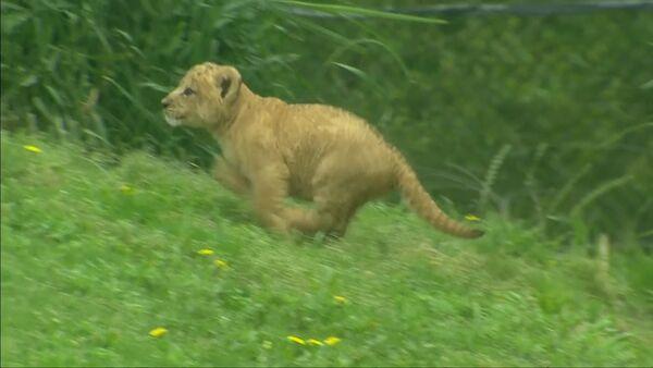 Первая прогулка львенка из зоопарка Далласа - Sputnik Латвия
