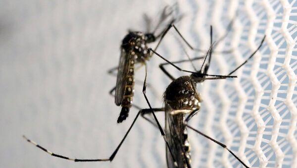 Комары вида aedes aegypti в лаборатории в Бразилии - Sputnik Латвия