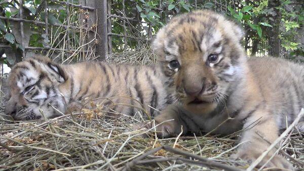 Амурские тигрята в Крыму - Sputnik Латвия