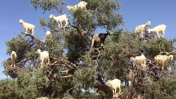 Четвероногие птицы: козы на деревьях в Марокко - Sputnik Латвия