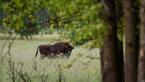 Зубр в заповеднике Беловежская пуща - Sputnik Латвия