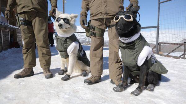 Astes ar brillēm un zābakiem: Čīlē parādīja patruļas suņus darba ekipējumā - Sputnik Latvija