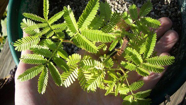 Растение мимоза хостилис (Mimosa tenuiflora) - Sputnik Latvija