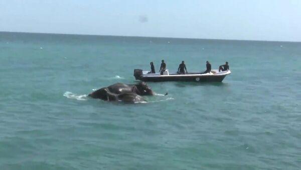 Спасение унесенных в море слонов у берегов Шри-Ланки. Кадры операции - Sputnik Латвия