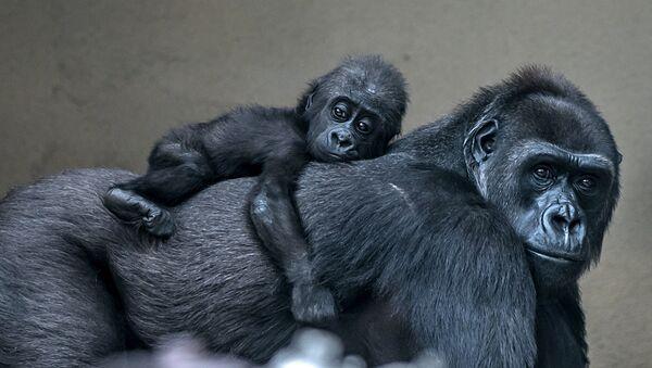У горилл, девочка, ей на днях исполнился год, зовут Афия - Sputnik Latvija