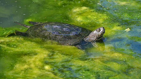 Болотная черепаха - Sputnik Латвия